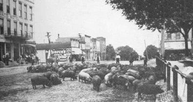 Hogs being herded to market down Main Street in the late 1800s