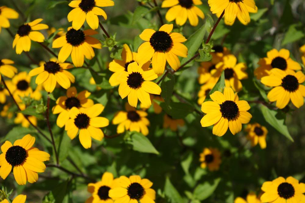 Black Eye Susans