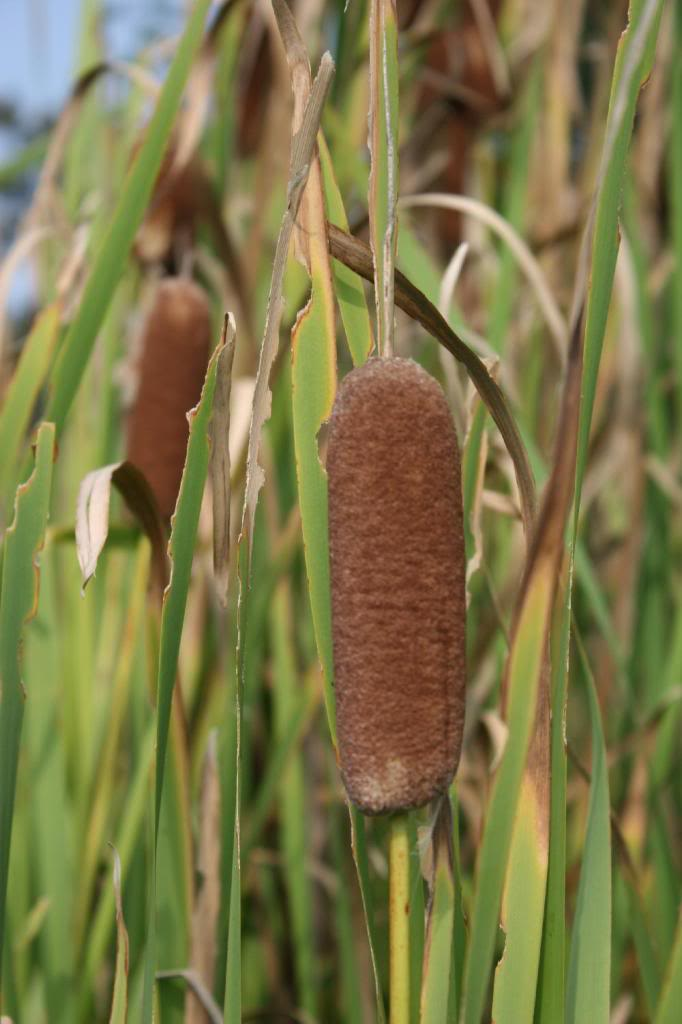Field of Cattails