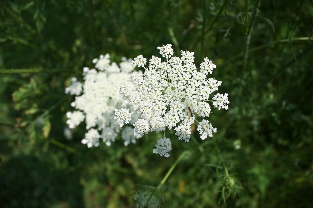 Queen Annes Lace invasive species