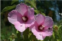 Smooth Rose Mallow