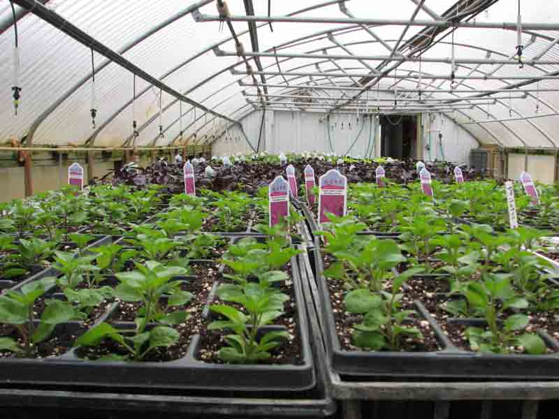 Bedding plants in productiion